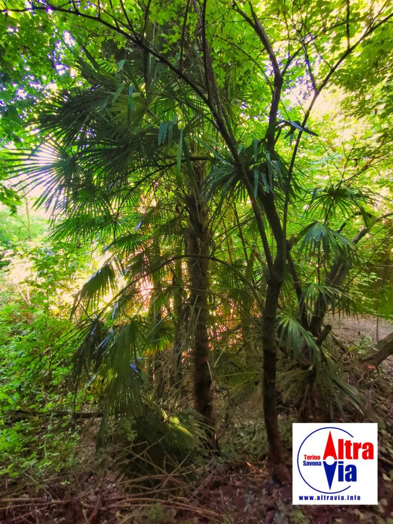 bosco di palme