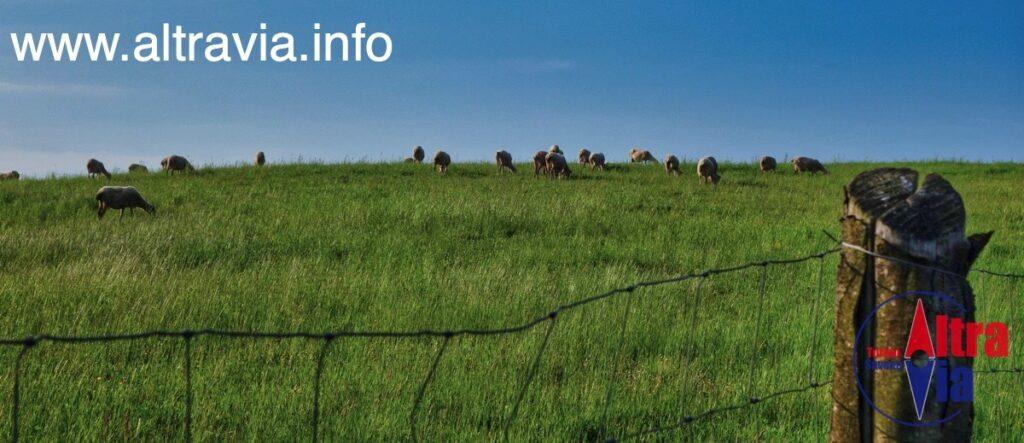 6011 pecore