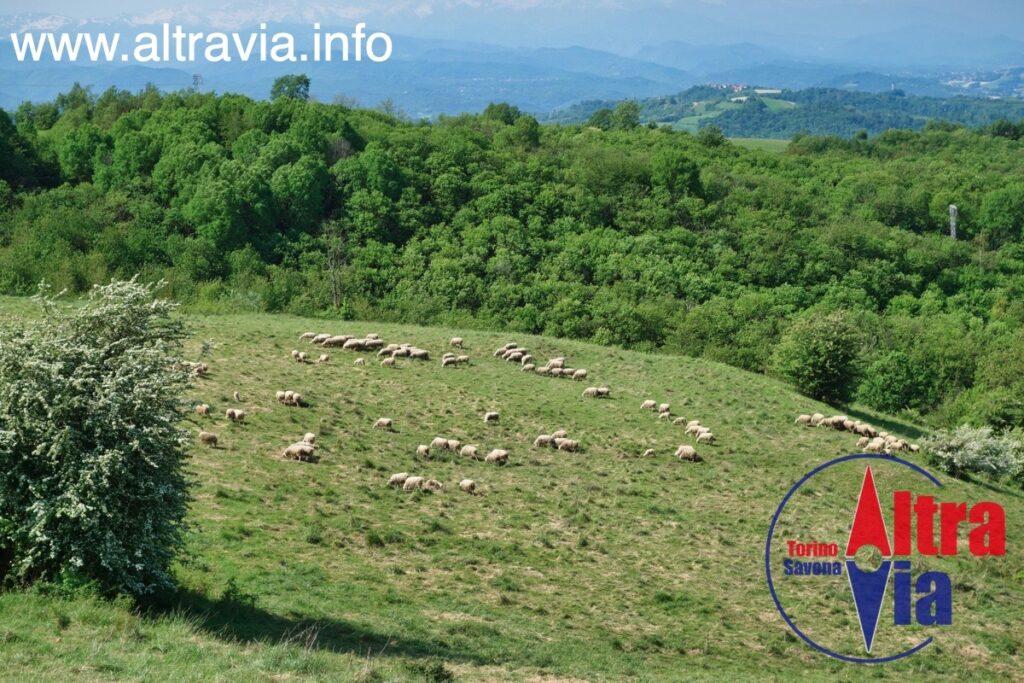 6031 pecore di Langa